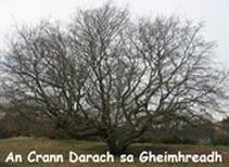 an-crann-darach-sa-gheimh
